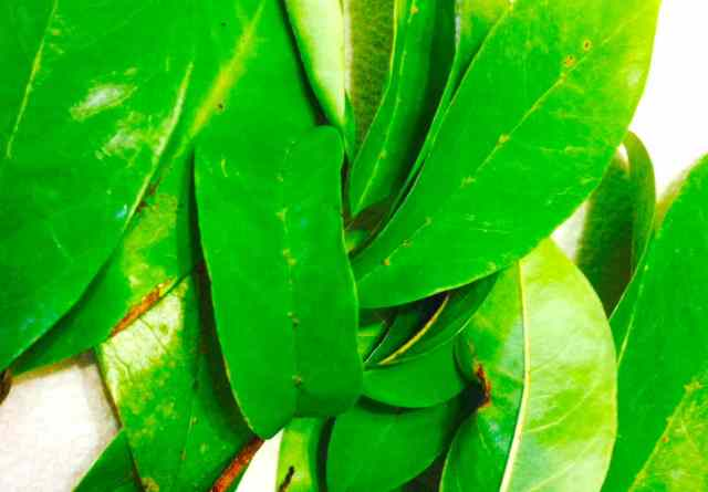 Soursop Leaves for Tea