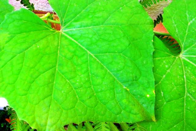 Luffa Leaves