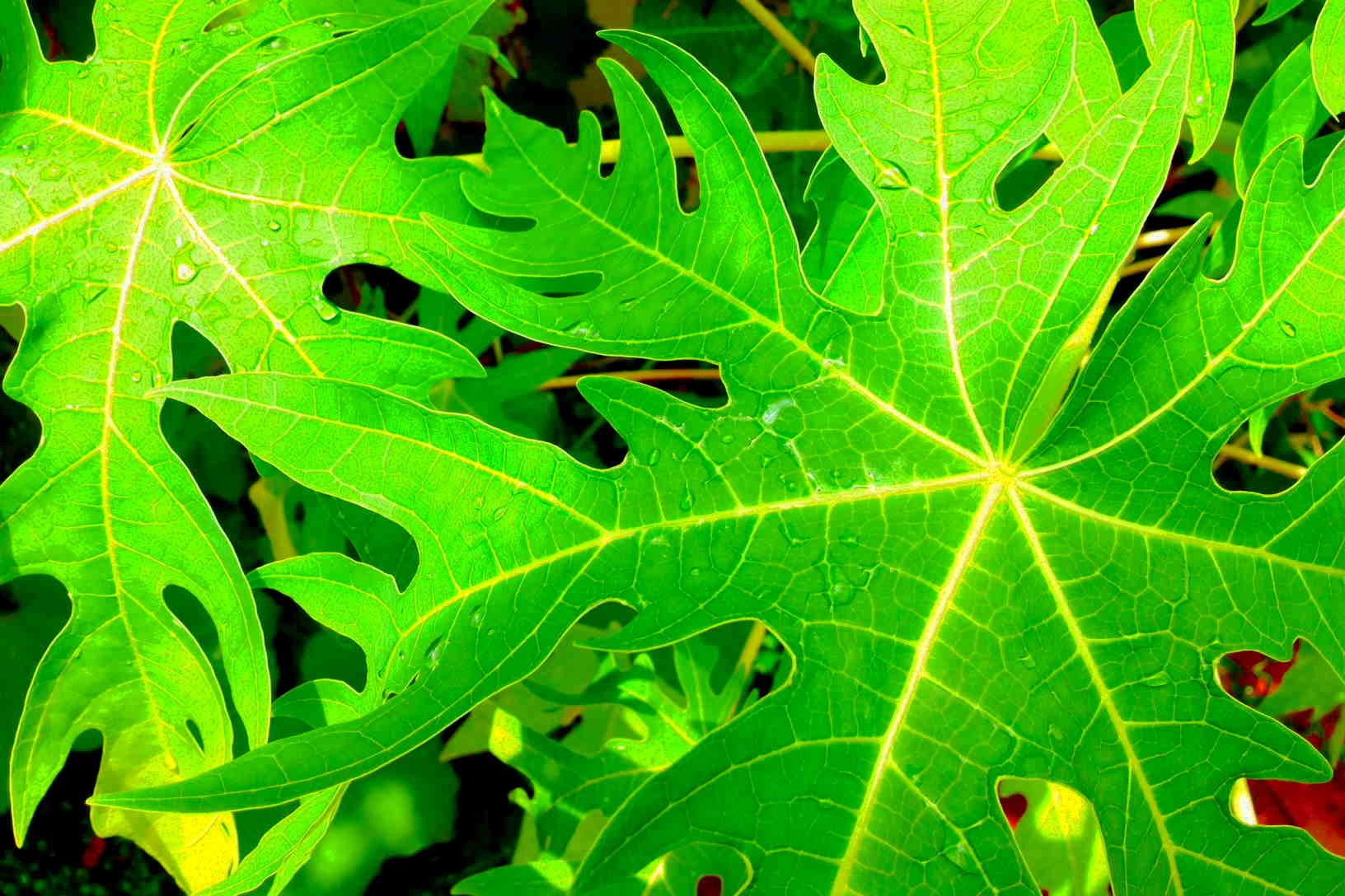 papaya tree leaf - photo #27