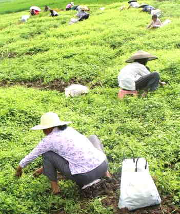 Growing Jiaogulan Tea