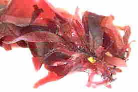 Ecklonia Cava Brown Seaweed