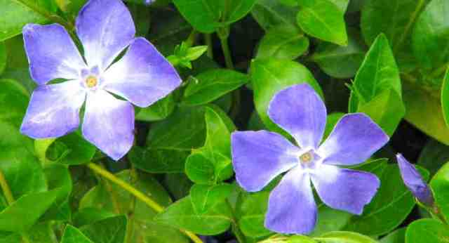 Periwinkle Flowers