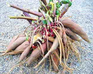 Yacon Roots