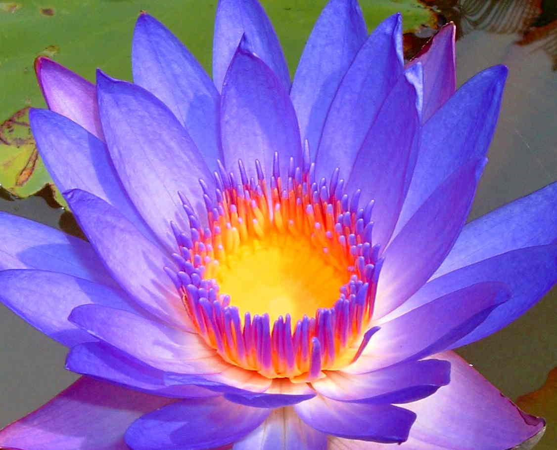 30 health benefits of lotus leaves and flowers relax into success