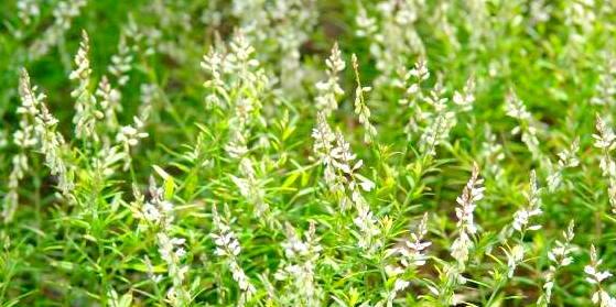 Senega Plant