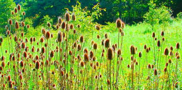 Teasel Root Plant