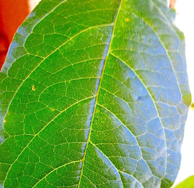 Anamu Leaf