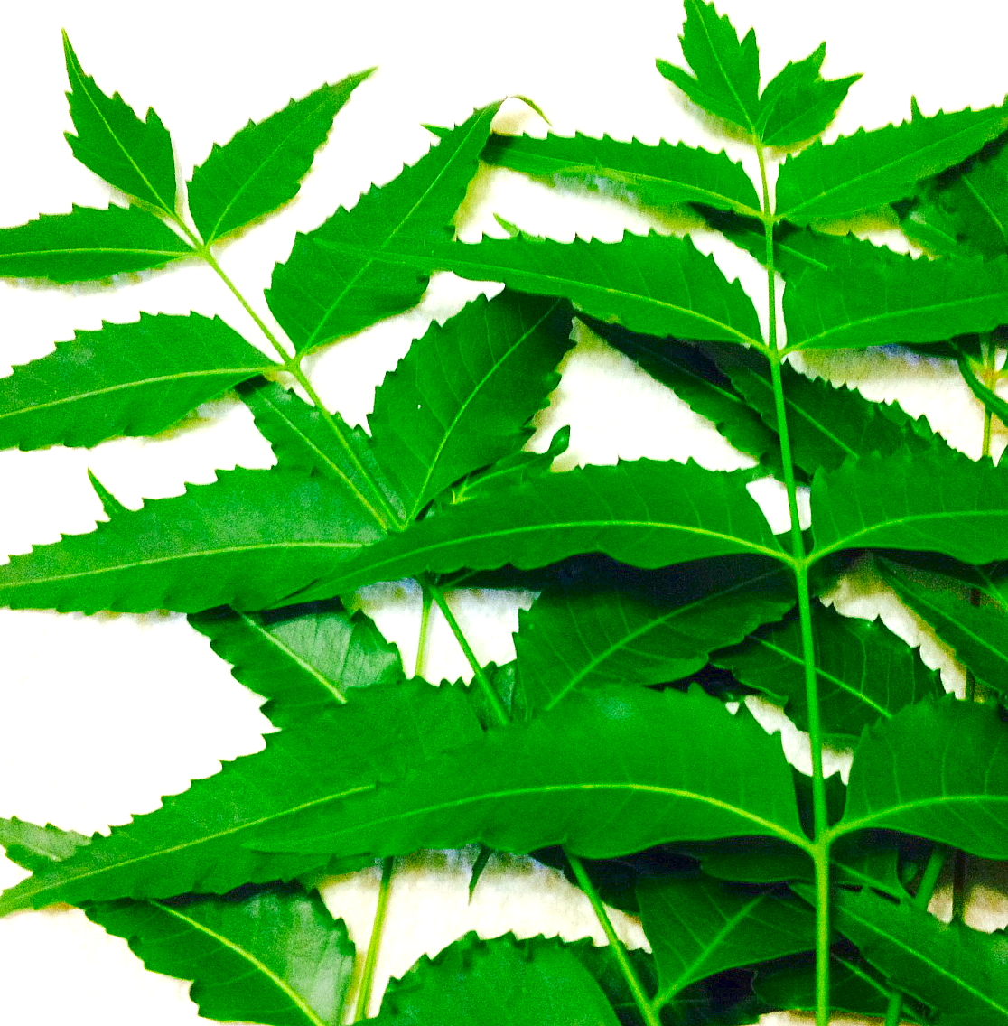 Neem Leaves – A Powerful Healing Herb"