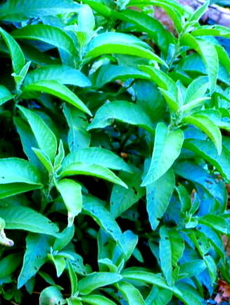 Sambong Plant