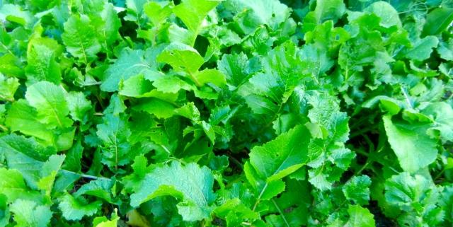 Great Tasting Turnip Greens