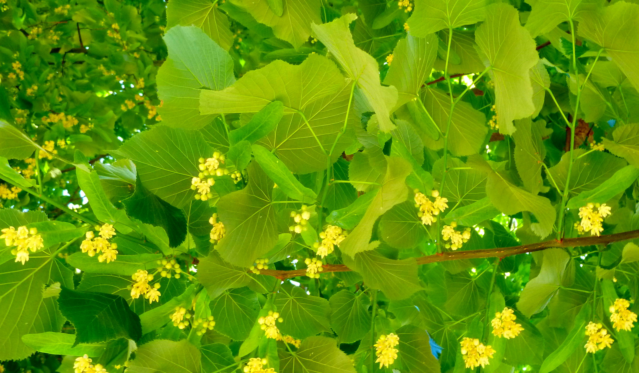 12 soothing benefits of linden flower tea relax into success linden flowers izmirmasajfo