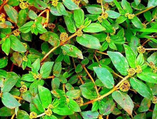 Tawa Tawa Tea Plant