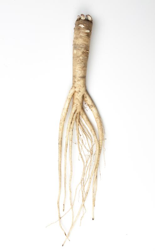 Platycodon Root