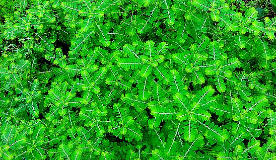 Stone Breaker Herb