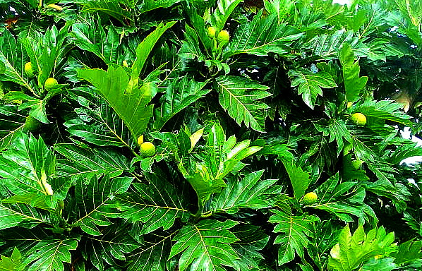 Breadfruit Leaves and Fruit