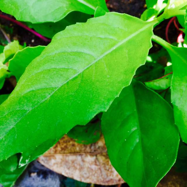 Moluccan Spinach