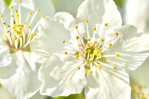 Proven health benefits of plum flower tea relax into success plum flowers mightylinksfo